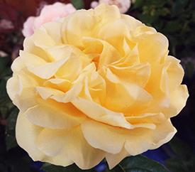 Meetings – San Fernando Valley Rose Society