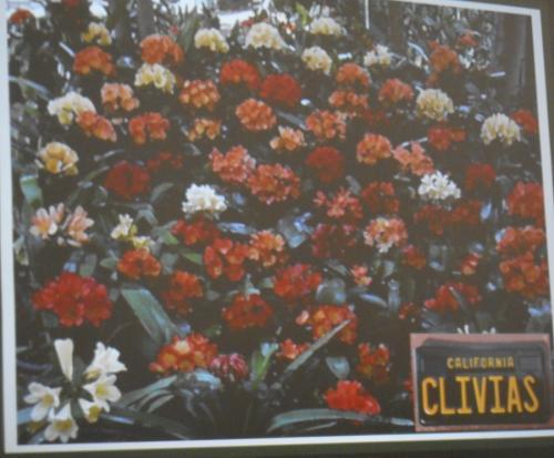 Clivia1371